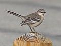 Northern Mockingbird - Mimus polyglottos, Veteran's Park, Woodbridge, Virginia (24858779617).jpg