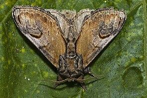 Zickzackspinner (Notodontia ziczac)