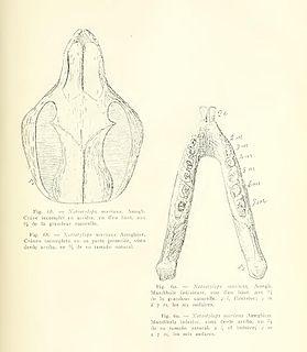<i>Notostylops</i> genus of mammals