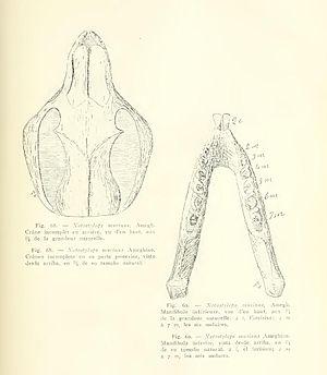 Notostylops - Notostylops