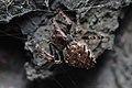 Nuctenea umbratica female Bytom.jpg