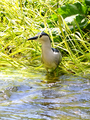 Nycticorax nycticorax 00002.png