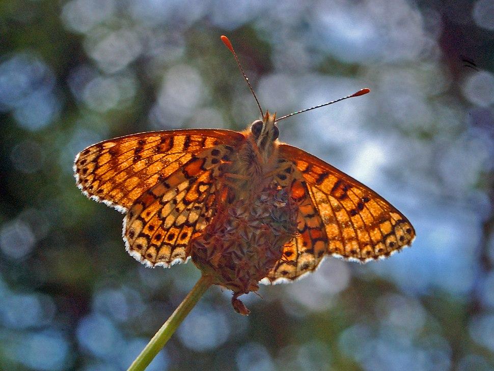 Nymphalidae - Melitaea cinxia