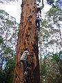 OIC pemberton gloucester tree climbers.jpg