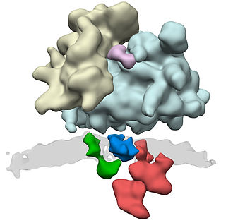 Translocon - ER Translocon complex. Many protein complexes are involved in protein synthesis. The actual production takes place in the ribosomes (yellow and light blue). Through the ER translocon (green: Sec61, blue: TRAP complex, and red: oligosaccharyl transferase complex) the newly synthesized protein is transported across the membrane (gray) into the interior of the ER. Sec61 is the protein-conducting channel and the OST adds sugar moieties to the nascent protein.
