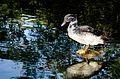 O Pato e o Lago.jpg