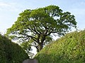 Oak tree near Netherton - geograph.org.uk - 804334.jpg