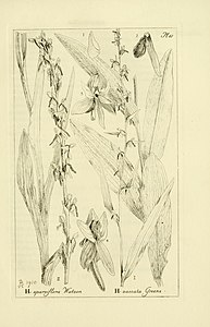 Oakes Ames - Orchidaceae. Illustrations and studies of the family Orchidaceae - Fascicle IV - plate 061 (1910).jpg