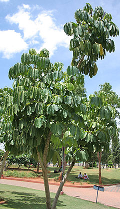 Octopus Tree (Schefflera actinophylla) at Hyderabad, AP W 283.jpg