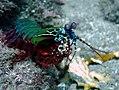 Odontodactylus scyllarus.jpg