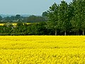 Oilseed rape, near Badbury, Swindon - geograph.org.uk - 802000.jpg