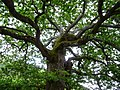 Old Oak 1405 - panoramio.jpg