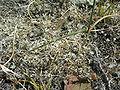 Olsynium junceum-leave.JPG