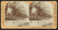 On the beautiful Mauna Loa Creek, Hawaii, from Robert N. Dennis collection of stereoscopic views.png