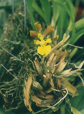Oncidium longipes.jpg