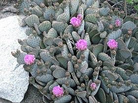 Opuntia basilaris beavertail cactus clump.jpg
