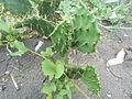 Opuntia ficus-indica cactus at Bheemunipatnam 01.JPG