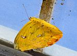 Orange Emigrant butterfly.jpg