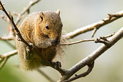 Orange bellied himalayan squirrel.jpg