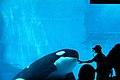 Orca assassina - Killer whale - Nagoya Aquarium - Japan (15677930249).jpg