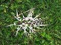 Orthosiphon aristatus flower (2).jpg