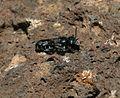 Osmia lanzarotensis.jpg