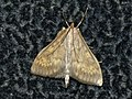 Ostrinia nubilalis - European corn borer - Кукурузный мотылёк (40800595572).jpg
