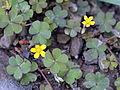 Oxalis corniculata (15352810682).jpg