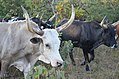 Oxen in Angola 3.jpg