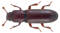 Oxylaemus cylindricus (Panzer, 1796) (22598438825).png