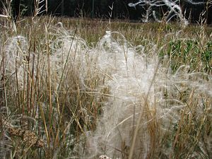 Stipa borysthenica - Seeds of Stipa borysthenica