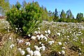 Přírodní památka Pernink suchopýr květen 2020 (4).jpg