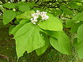 P1000271 Catalpa bignonioides (Aurea) (Begoniaceae) Leaf.JPG