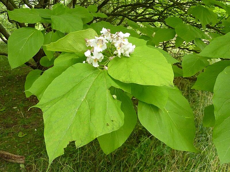 feuilles et fleurs du catalpa