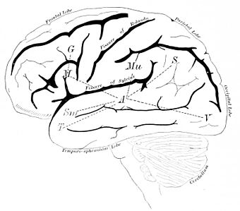 PSM V41 D796 Left side of the brain.jpg