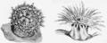 PSM V66 D569 Anemonia elegans and philia rufa.png