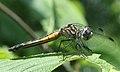 Pachydiplax longipennis.jpg