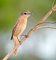 Pachyramphus castaneus -Vale do Ribeira, Registro, Sao Paulo, Brasil-8.jpg