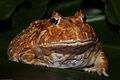 Pacman Frog, Argentine Wide-mouth Frog, Ceratophrys ornata.jpg