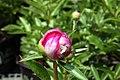 Paeonia lactiflora Largo 1zz.jpg