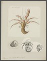 Pagurus bernhardus - - Print - Iconographia Zoologica - Special Collections University of Amsterdam - UBAINV0274 096 11 0006.tif