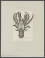 Pagurus guttatus - - Print - Iconographia Zoologica - Special Collections University of Amsterdam - UBAINV0274 096 11 0009.tif