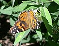 Painted Lady (Vanessa cardui) - Flickr - Jay Sturner (2).jpg