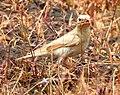 Pale rockfinch (ഇളം പാറക്കുരുവി ) - 5.jpg