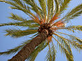 Palm Tree (45402086).jpg