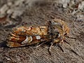 Panolis flammea - Pine beauty - Совка сосновая (41076698851).jpg