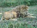 Panthera leo Parc des félins.JPG