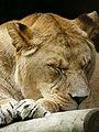 Panthera leo leo.jpg