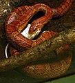 Pantherophis guttatus Ile aux Serpents 14 11 08 03.jpg