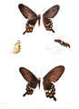 Papilio aristolochiae dsf 441.png